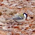 Photos: 弥勒山山頂:地面の上の餌を探すシジュウカラ