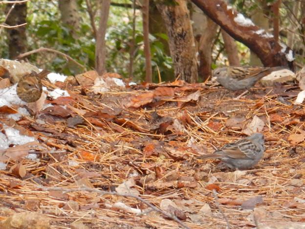 秋ころから弥勒山山頂で見かけるようになった「クロジ」 - 4
