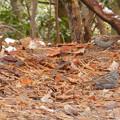 Photos: 秋ころから弥勒山山頂で見かけるようになった「クロジ」 - 4