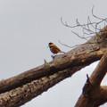 Photos: 弥勒山山頂:ピーナッツを咥えて木に止まるヤマガラ - 2