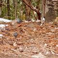 Photos: 秋ころから弥勒山山頂で見かけるようになった「クロジ」 - 7