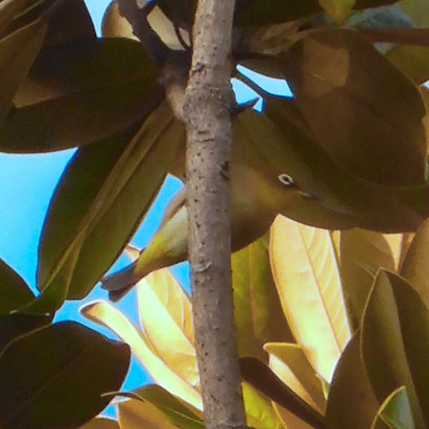 尾張広域緑道の木々を移動していたメジロ - 1