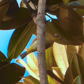 Photos: 尾張広域緑道の木々を移動していたメジロ - 1