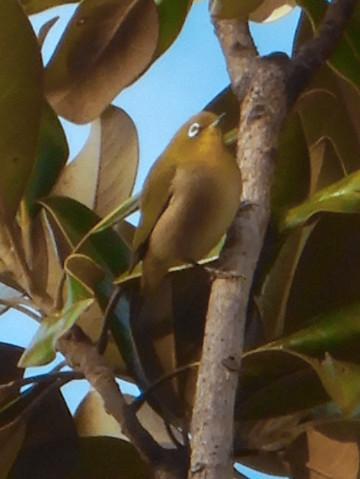 尾張広域緑道の木々を移動していたメジロ - 4