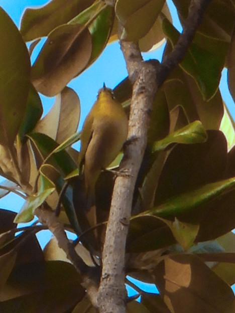 Photos: 尾張広域緑道の木々を移動していたメジロ - 2
