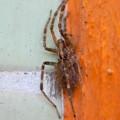 Photos: 寒そうに隅っこでうずくまってた?蜘蛛 - 2