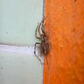 Photos: 寒そうに隅っこでうずくまってた?蜘蛛 - 1