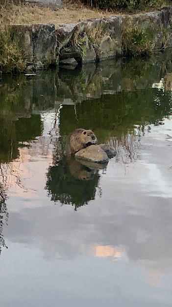 池の中央の石の上でくつろいでいたヌートリア