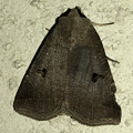 2つの黒い斑点が特徴の「クビグロクチバ」 - 4