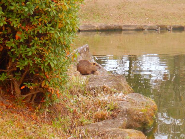 落合公園の池の脇でくつろいでたヌートリア - 1