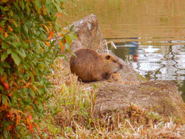 落合公園の池の脇でくつろいでたヌートリア - 2