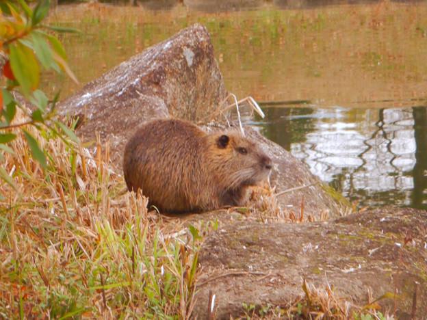 落合公園の池の脇でくつろいでたヌートリア - 4