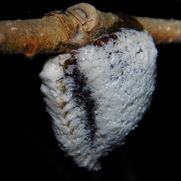西高森山の木にくっついてた謎の白い塊 - 1