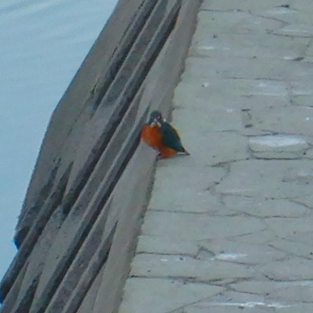 落合公園の池沿いにいたカワセミ - 2