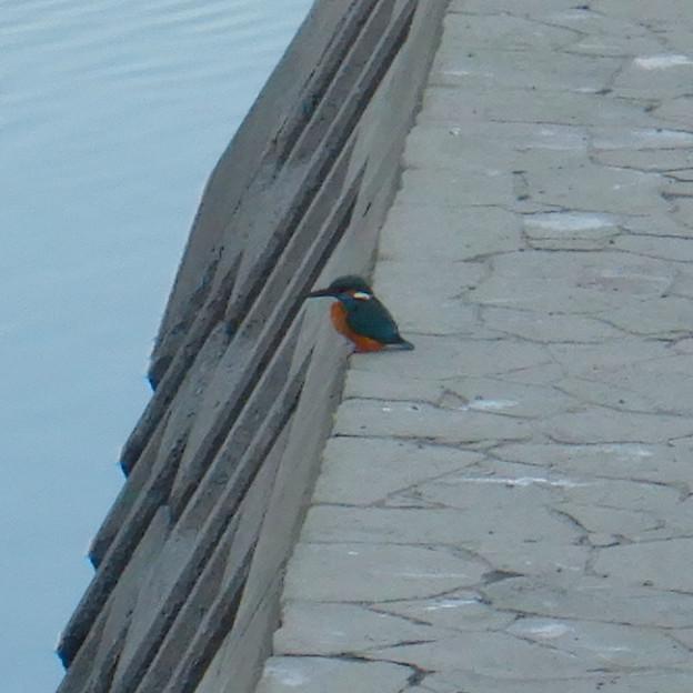 落合公園の池沿いにいたカワセミ - 3