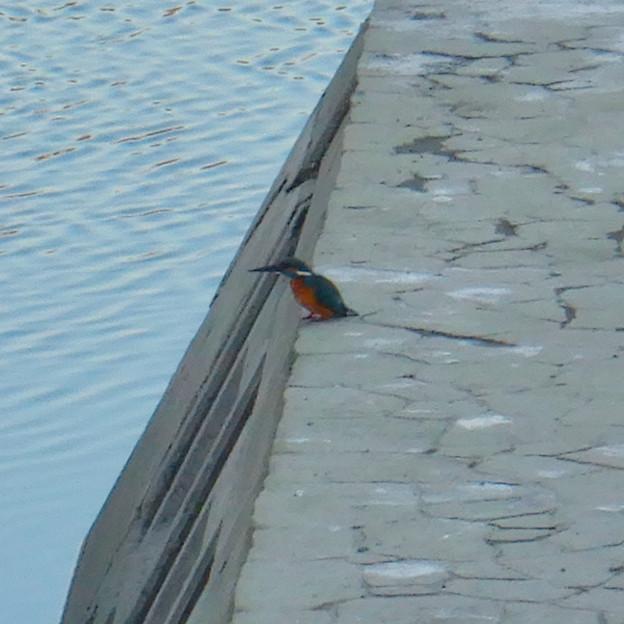 落合公園の池沿いにいたカワセミ - 4