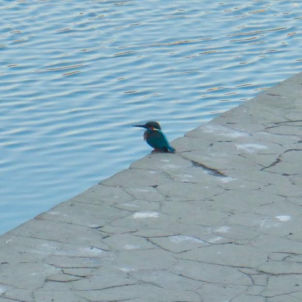 落合公園の池沿いにいたカワセミ - 5