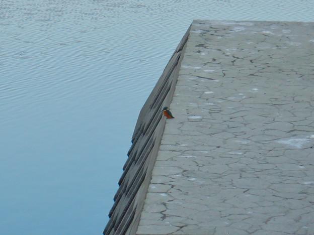 落合公園の池沿いにいたカワセミ - 1