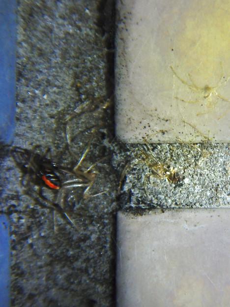 桃花台中央公園のトイレの外壁にいた、たぶんセアカゴケグモ - 15
