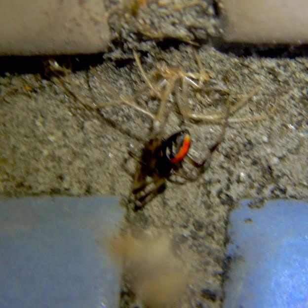 桃花台中央公園のトイレの外壁にいた、たぶんセアカゴケグモ - 16