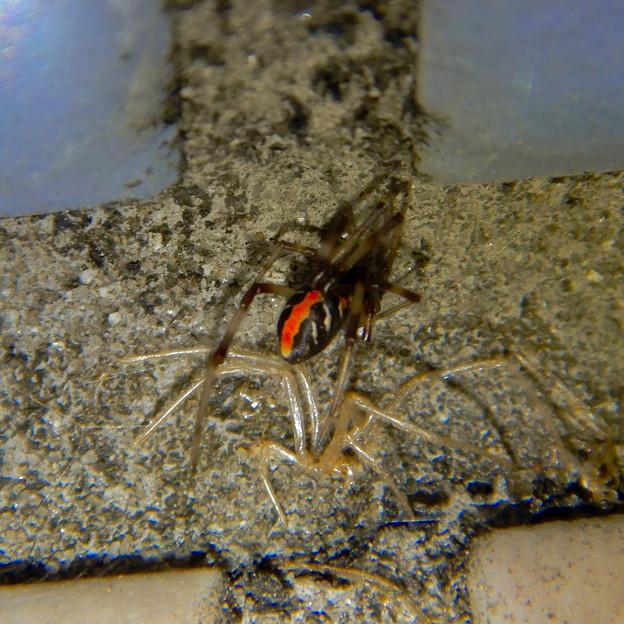 桃花台中央公園のトイレの外壁にいた、たぶんセアカゴケグモ - 18