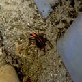 桃花台中央公園のトイレの外壁にいた、たぶんセアカゴケグモ - 32