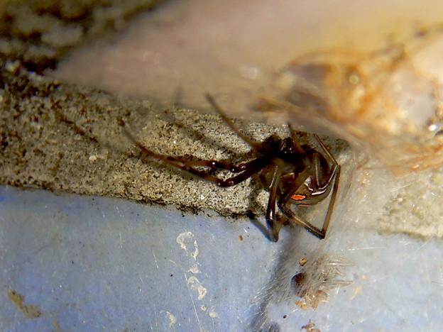 桃花台中央公園のトイレの外壁にいた、たぶんセアカゴケグモ - 37