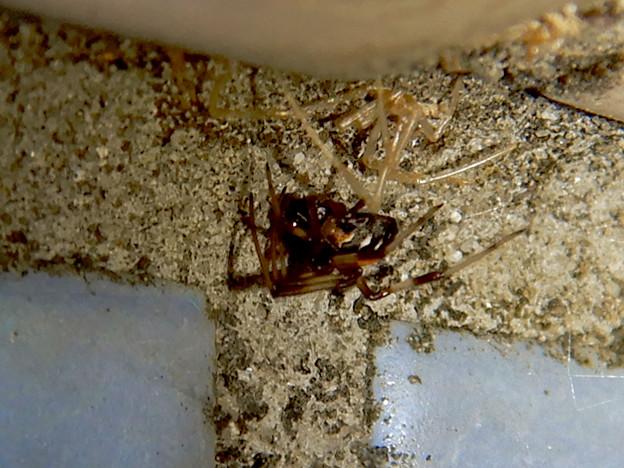 桃花台中央公園のトイレの外壁にいた、たぶんセアカゴケグモ - 39