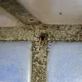 桃花台中央公園のトイレの外壁にいた、たぶんセアカゴケグモ - 2