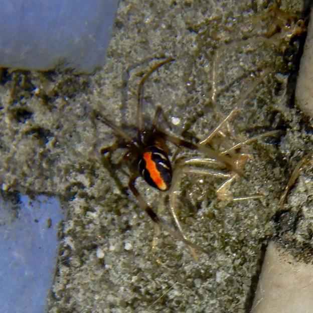 桃花台中央公園のトイレの外壁にいた、たぶんセアカゴケグモ - 9