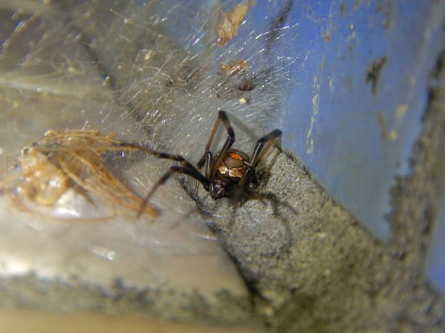 桃花台中央公園のトイレの外壁にいた、たぶんセアカゴケグモ - 21