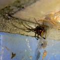 桃花台中央公園のトイレの外壁にいた、たぶんセアカゴケグモ - 35