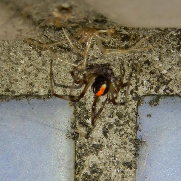 桃花台中央公園のトイレの外壁にいた、たぶんセアカゴケグモ - 3