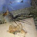 桃花台中央公園のトイレの外壁にいた、たぶんセアカゴケグモ - 10