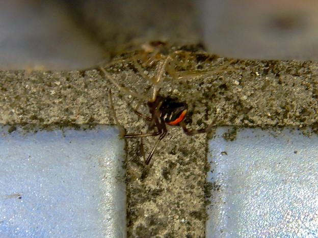 桃花台中央公園のトイレの外壁にいた、たぶんセアカゴケグモ - 11