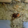 桃花台中央公園のトイレの外壁にいた、たぶんセアカゴケグモ - 14