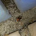 桃花台中央公園のトイレの外壁にいた、たぶんセアカゴケグモ - 29