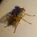 Photos: 桃花台中央公園のトイレの外壁にいたトゲの様な毛が生えたハエ?アブ? - 3