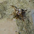 セアカゴケグモのオス