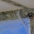 セアカゴケグモのメス - 1