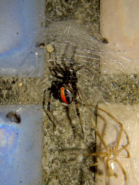 セアカゴケグモのメス - 3