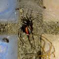 Photos: セアカゴケグモのメス - 3