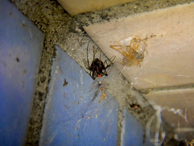 セアカゴケグモのメス - 5