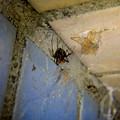 Photos: セアカゴケグモのメス - 5
