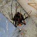 Photos: セアカゴケグモのメス - 6