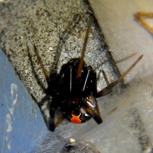 セアカゴケグモのメス - 7