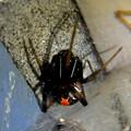 Photos: セアカゴケグモのメス - 7