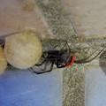 セアカゴケグモのメスと卵嚢(らんのう) - 2