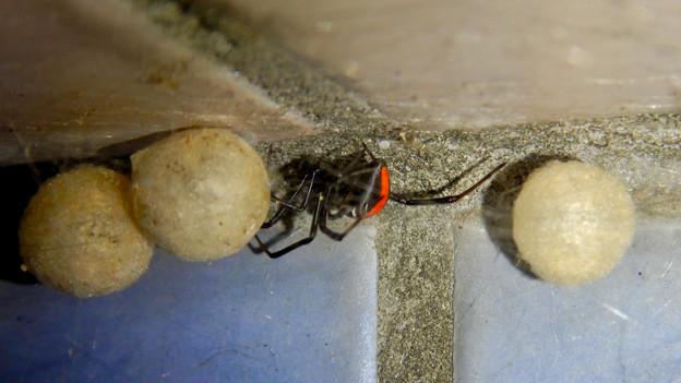 セアカゴケグモのメスと卵嚢(らんのう) - 5