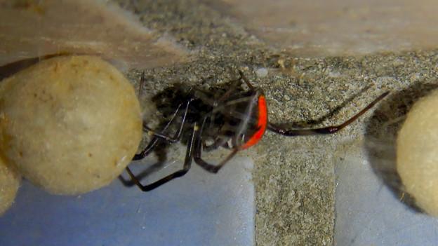 セアカゴケグモのメスと卵嚢(らんのう) - 6